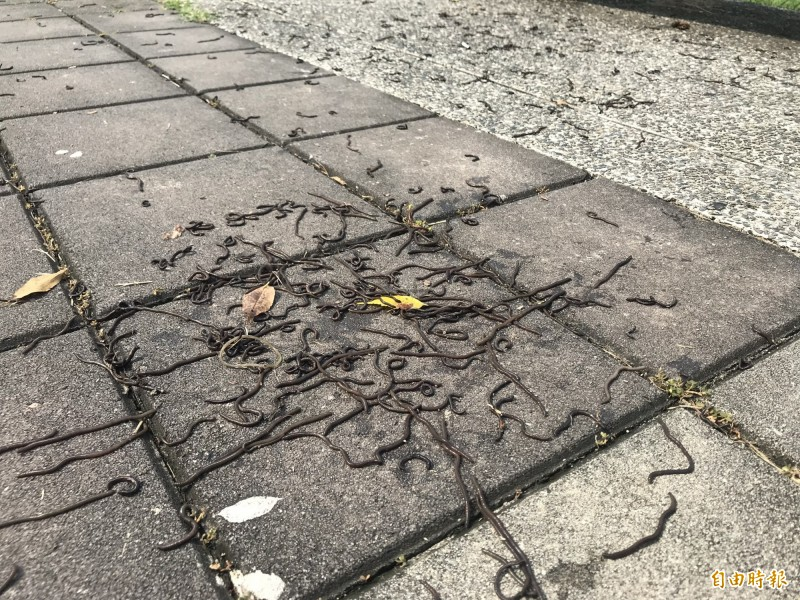 屏東市千禧公園等地方冒出上萬隻蚯蚓,相當驚人。(記者葉永騫攝)