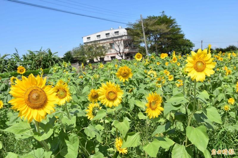 桃園新屋這片向日葵花海從低角度拍攝,以藍天為幕,顏色非常鮮豔。(記者李容萍攝)