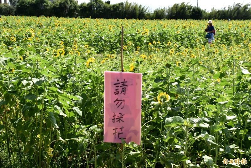 避免向日葵花海被破壞,花田豎立「請勿採花」告示。(記者李容萍攝)
