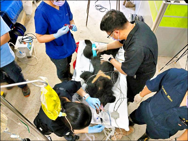 台東縣海端鄉利稻村9月27日晚間一隻台灣黑熊潛入偷食被捕,台東林管處緊急安置就地照養,並為小黑熊健檢。(記者陳賢義翻攝)