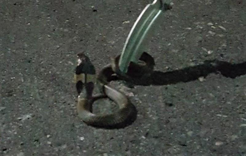 一條眼鏡蛇入侵屏東市民宅被逮獲。(讀者提供)