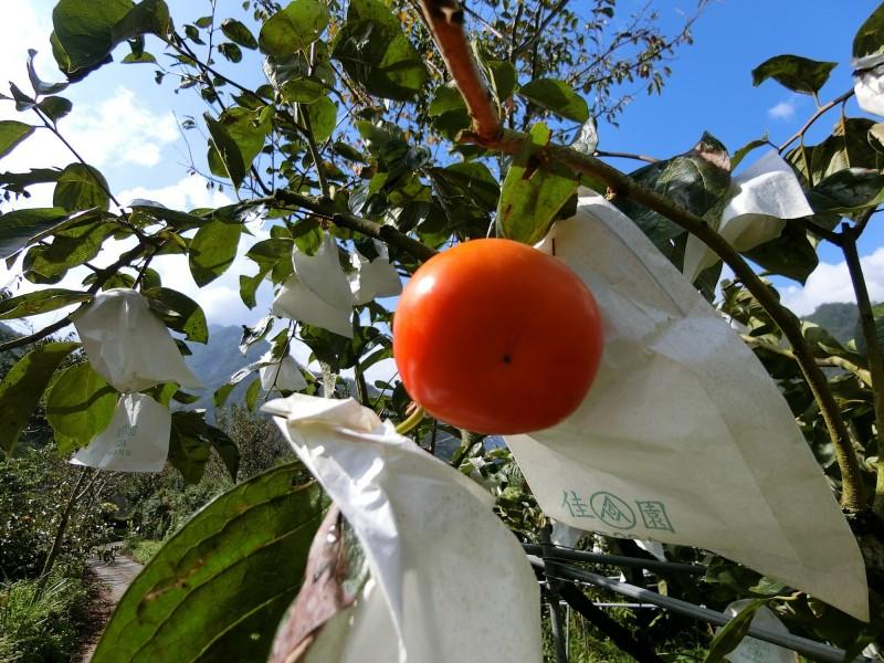 時序入深秋,台東縣海端鄉柿子紅了,果實碩大肥美。(記者陳賢義翻攝)
