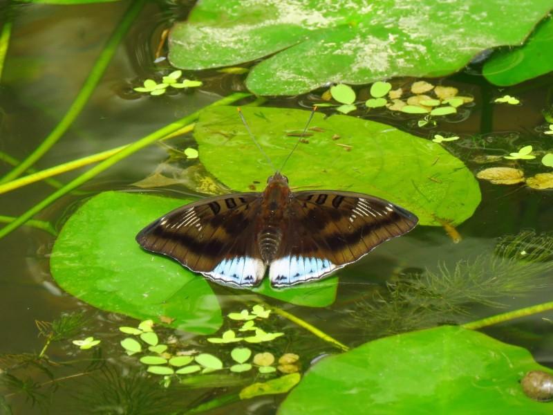 尖翅翠蛺蝶在基隆內寮濕地現蹤。(內寮社區發展協會理事長王淑華攝)