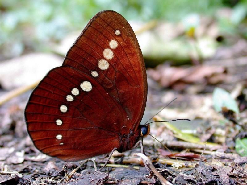 基隆市蝶「串珠環蝶」於1997年在海門天險首次發現,直到今年主要活動區域仍在基隆,分布區域和「尖翅翠蛺蝶」很像。(沈錦豐提供)