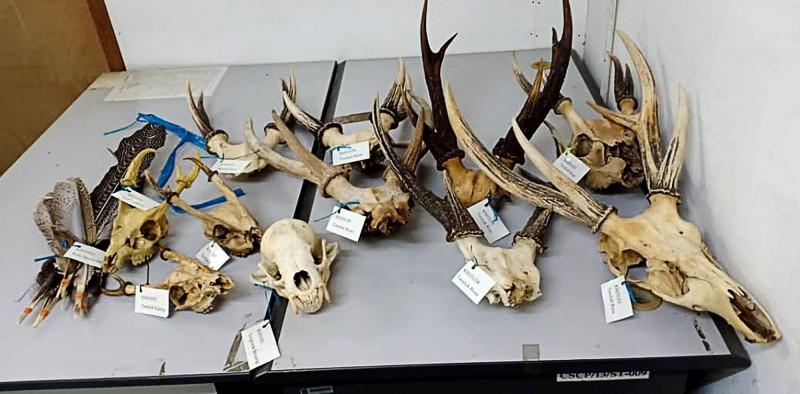 馬來西亞官員今(10)日表示,在婆羅洲島一次突襲行動中,查獲了近800個動物部位,圖為其中一部分。(法新社)