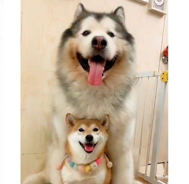 沒想到才過一年這兩隻狗的身材就發生大逆轉,照片也被瘋狂轉傳。(圖片擷取自推特)