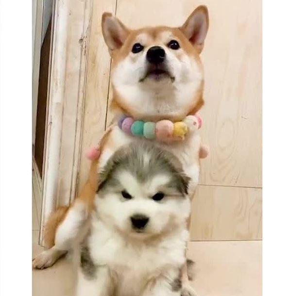 一名日本網友在推特上分享柴犬、阿拉斯加犬小時候的照片。(圖片擷取自推特)