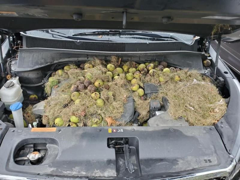 美國一名女駕駛開車時聞到燒焦味,打開引擎蓋檢查時發現裡面被松鼠藏了200多顆核桃。(圖擷自Chris Persic臉書)
