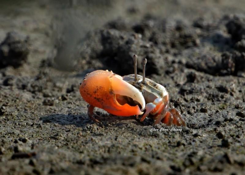 賈瑟琳招潮蟹。(圖:陳俊強提供)