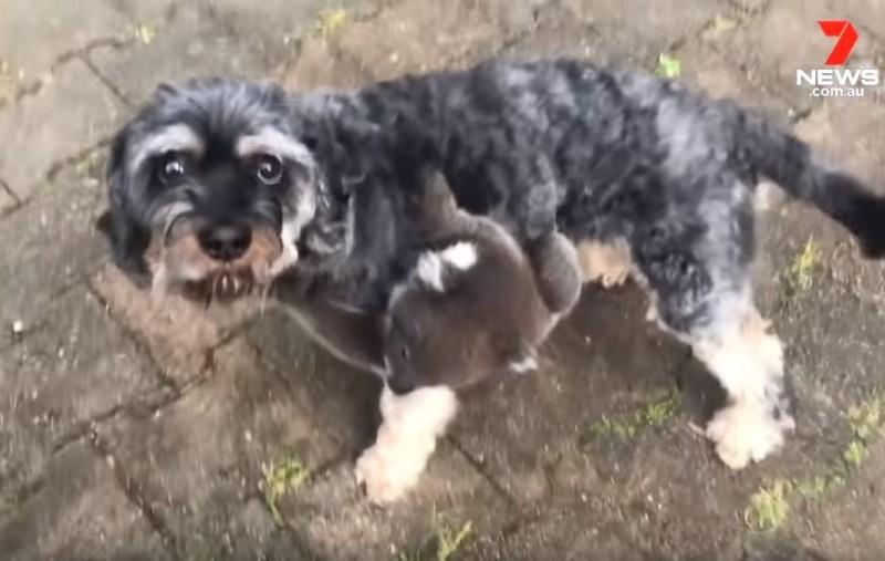 無尾熊寶寶就像是認定了媽媽一樣,死命抓著不放,狗狗托尼還一度無助的看著主人。(圖取自YouTube《7 NEWS Australia》)