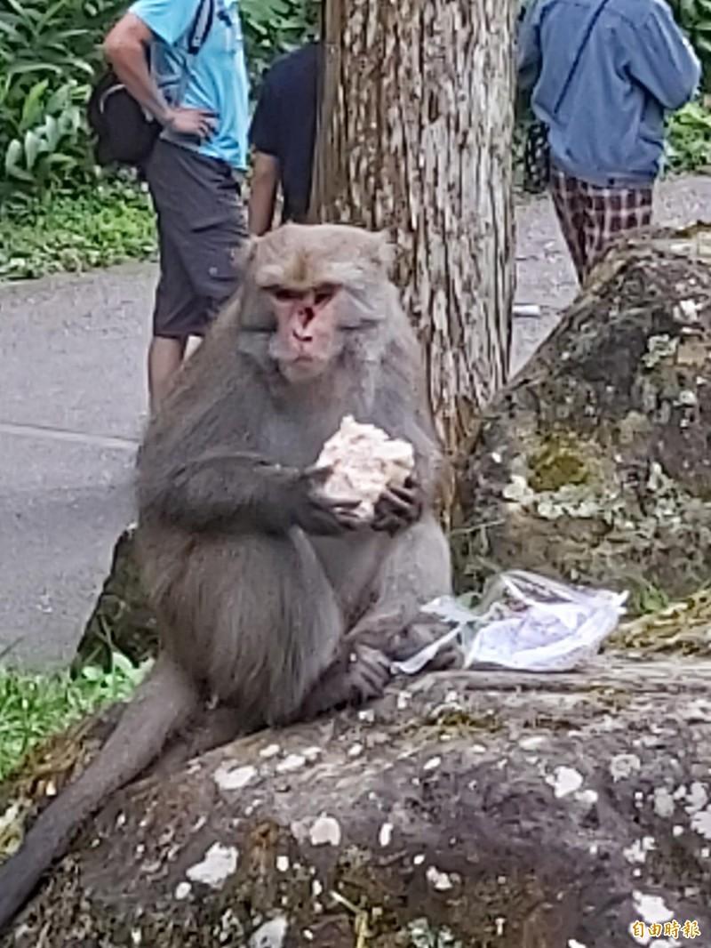 溪頭自然教育園區,今天中午1隻台灣獼猴搶走遊客的饅頭,大快朵頤。(記者張協昇攝)