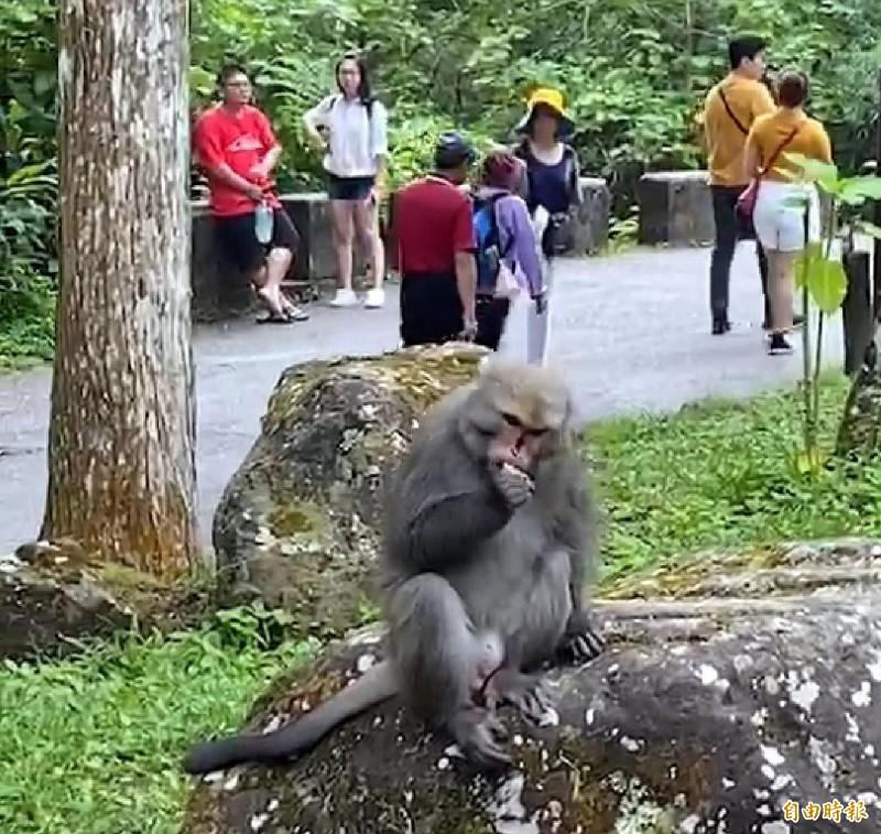 溪頭自然教育園區裡頭的台灣獼猴,搶到東西後,不怕生地享用饅頭等食物情形。(記者謝介裕攝)