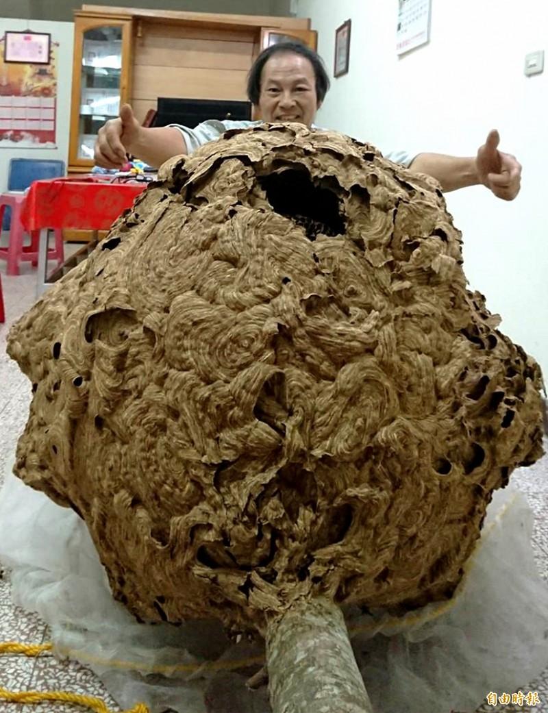 驚!龍潭山區超大「雞籠蜂窩」 捕蜂達人夜襲摘除