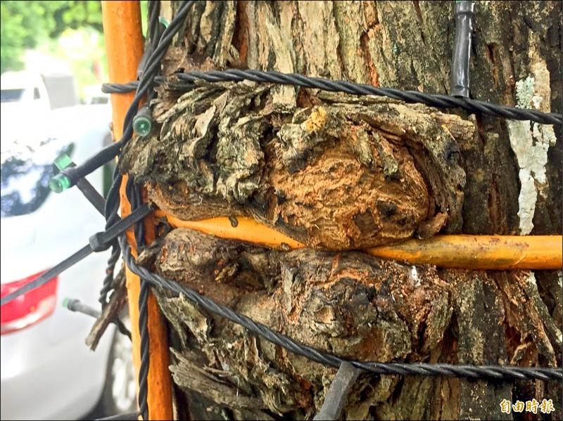 鐵條嵌入樹幹逾2年 雲林縣虎尾鎮12棵大樹生命受威脅