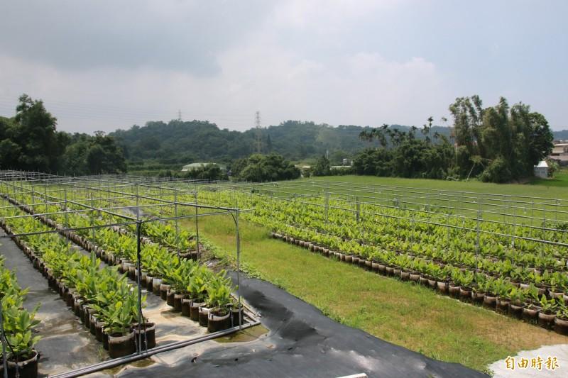 南庄鄉公所打造紅薑黃專區 開創在地新特產 吸引青年回流