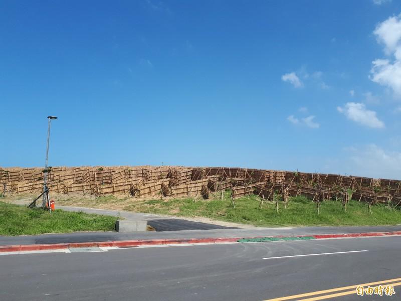 東北季風來了,新竹九降風有名,而新竹市政府為讓海邊的植物能順利長大,架起竹架來擋風及固砂,有如迷宮般,特殊景象也讓遊客了解原來竹架有此功效。(記者洪美秀攝)