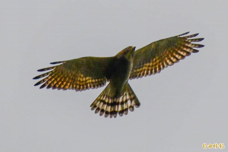 俗稱「國慶鳥」的灰面鵟鷹。(記者蔡宗憲攝)