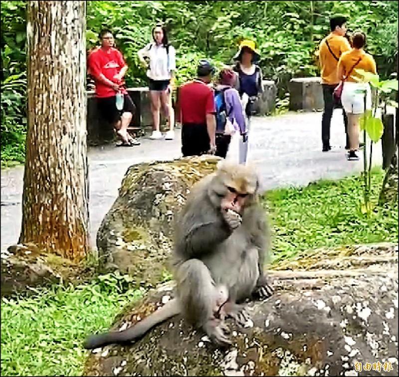 溪頭自然教育園區裡頭的台灣獼猴,搶到東西後,也不怕生地享用饅頭等食物情形。(記者謝介裕攝)