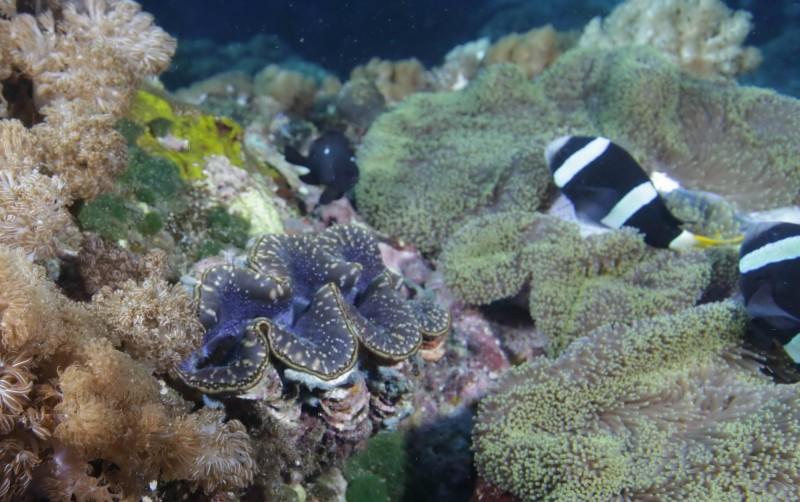 硨磲貝相當漂亮,看來很像童話美人魚裡的大蚌殼。(記者黃明堂翻攝)