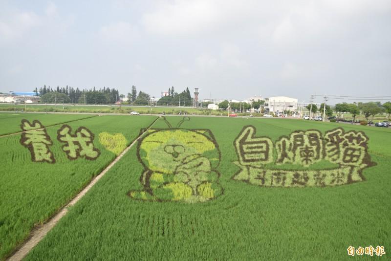 斗南鎮農會在石龜火車站前打造2公頃白爛貓彩繪田10月是最佳觀賞期。(記者黃淑莉攝)