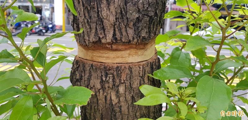 圖為被扒一層樹皮的行道樹,可以看出殺死行道樹的兇手很專業,切口十分工整。(記者俞肇福攝)