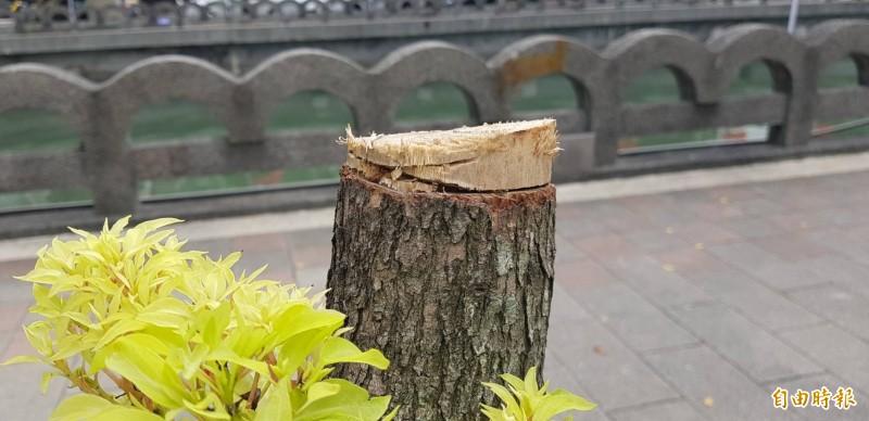 基隆市田寮河旁行道樹,從9月份起陸續傳出被鋸斷,被鋸斷的樹幹上,仍可看出被扒樹皮的痕跡。(記者俞肇福攝)