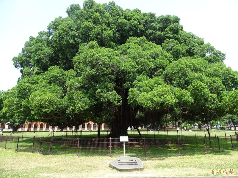 台南成功大學光復校區榕園內的百年老榕樹為1923年日本皇太子裕仁所種植。(記者林翠儀攝)