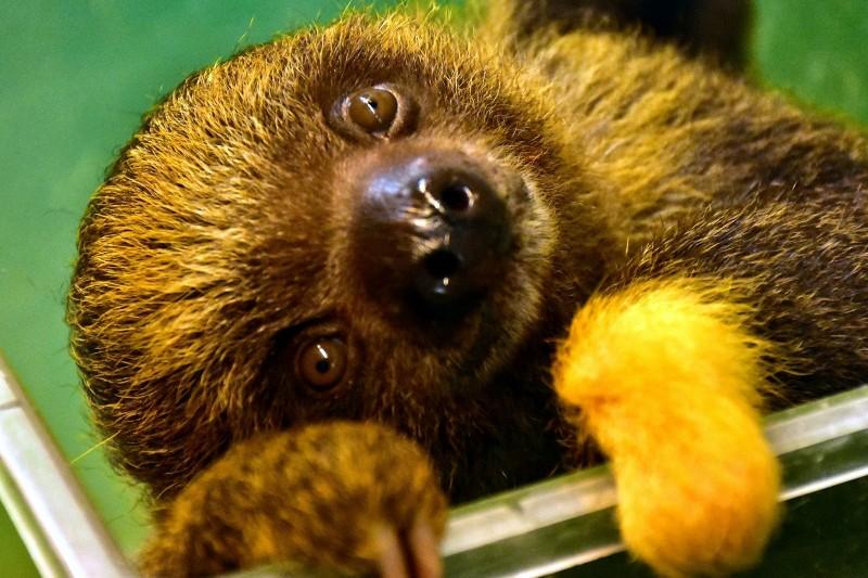 樹獺寶寶在剛出生時候毛色大多為黑色,但新生兒有時候會出現胎記,像是「葉紫」就擁有黃金左手。(台北市立動物園提供)