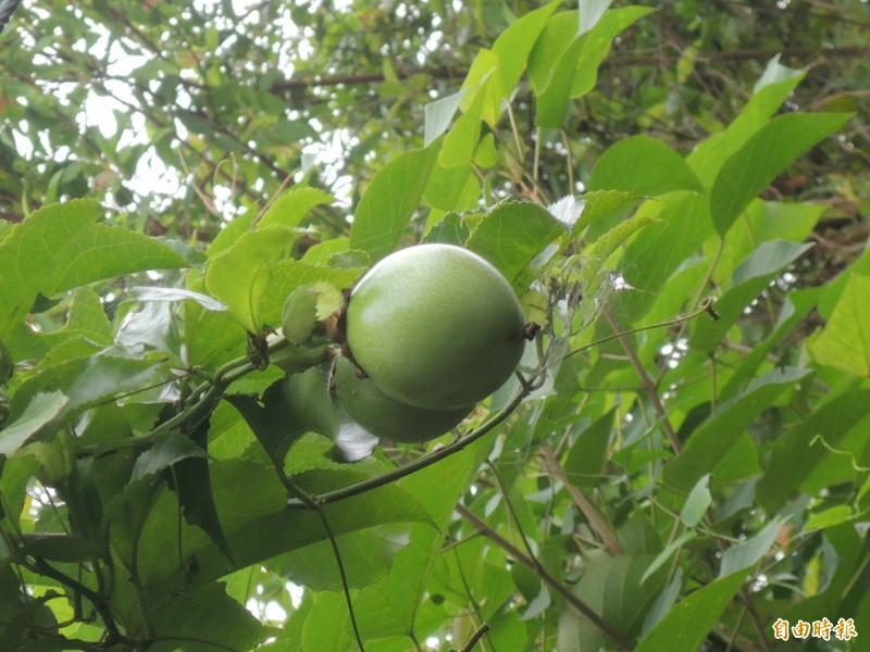 一般常見的圓形百香果。(記者江志雄攝)