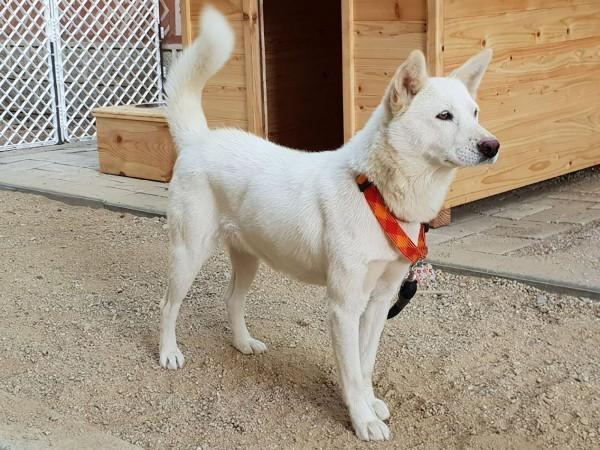 北韓國狗「豐山犬」。(法新社)