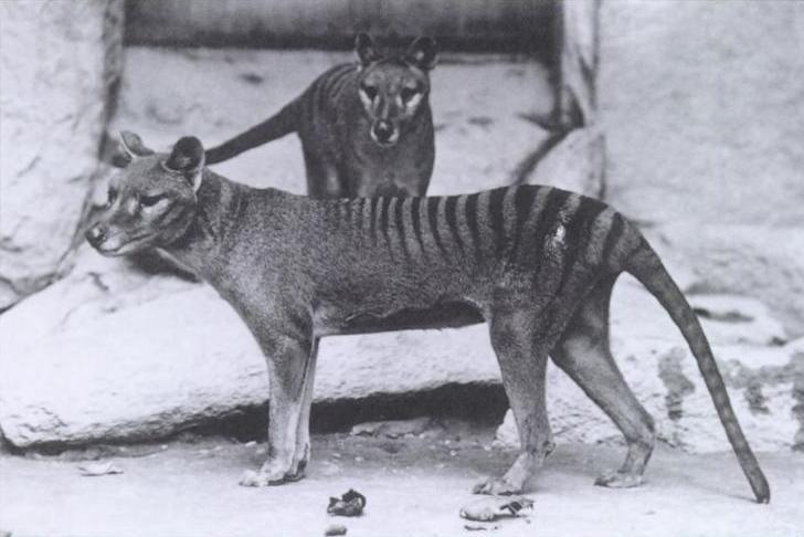 滅絕83年重現蹤?澳洲解密:近3年8起袋狼目擊紀錄
