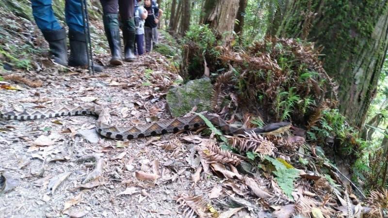 台東永安國小師生到玉山國家公園,遇到百步蛇,校長溫上德po上臉書,有人留言「超…級…大…條」,也有人說太幸運了,可以遇見百步蛇。(記者黃明堂翻攝)