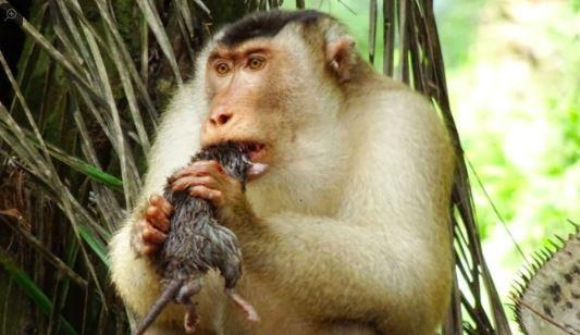 在馬來西亞的生物學研究團隊近日發現,霹靂州(Perak)昔加里美林當森林保護區(Segari Melintang)附近人工林中的豬尾獼猴竟以「大老鼠」為食!(圖擷取自推特)