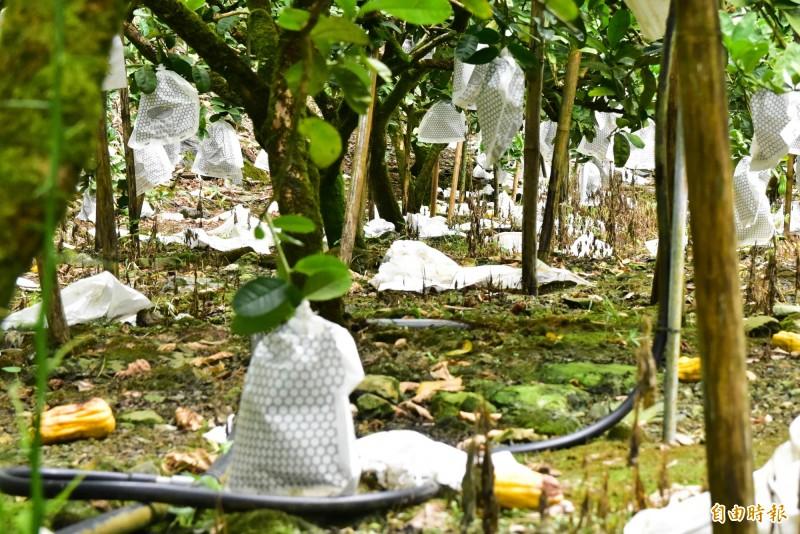 吳志祥的果園,地上滿是被獼猴啃食到一半的熟果,以及被獼猴撕裂的熟果套袋。(記者張議晨攝)
