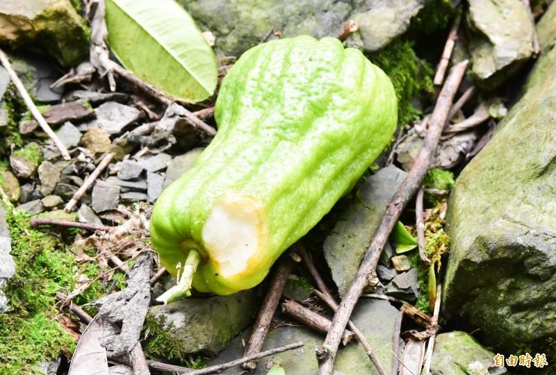 吳志祥的果園,地上滿是被獼猴啃食到一半的熟果,較澀的生果,甚至僅咬一口就不吃。(記者張議晨攝)