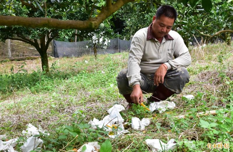 吳志祥的果園,地上滿是被獼猴啃食到一半的熟果,吳志祥僅能望著田裡的果皮嘆氣。(記者張議晨攝)