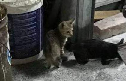 台東知名麵店昨晚發生幼貓重摔爆頭致死事件。圖片右邊這隻小黑貓正在低頭吃東西,有民眾見可愛,拍下照片後離開,沒想到3分鐘後就慘死,這餐成了才活2週的幼貓最後一餐。(網友提供)