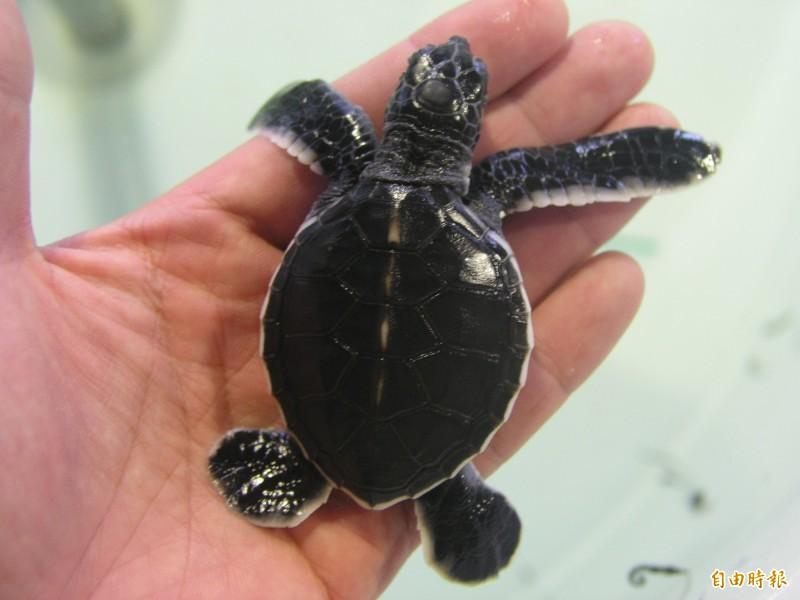 今年望安綠蠵龜保育區,有3頭海龜登岸產下8窩蛋卵。(記者劉禹慶攝)