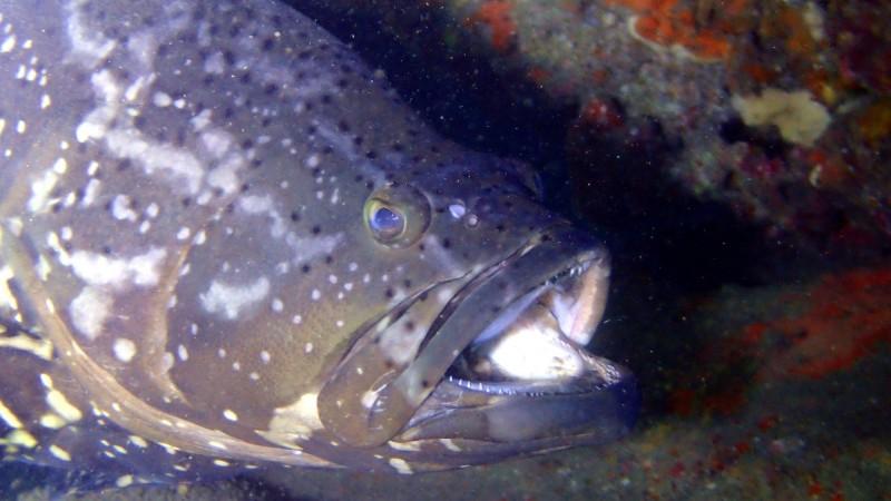 「龍虎斑」是近年新興養殖魚種,肉質兼具龍膽石斑的Q彈紮實、虎斑的細緻,受到饕客喜愛,但研究人員發現,「龍虎斑」在保育區內大量掠食,反而造成其他魚類的生態問題。(圖由國立海洋科技博物館提供)