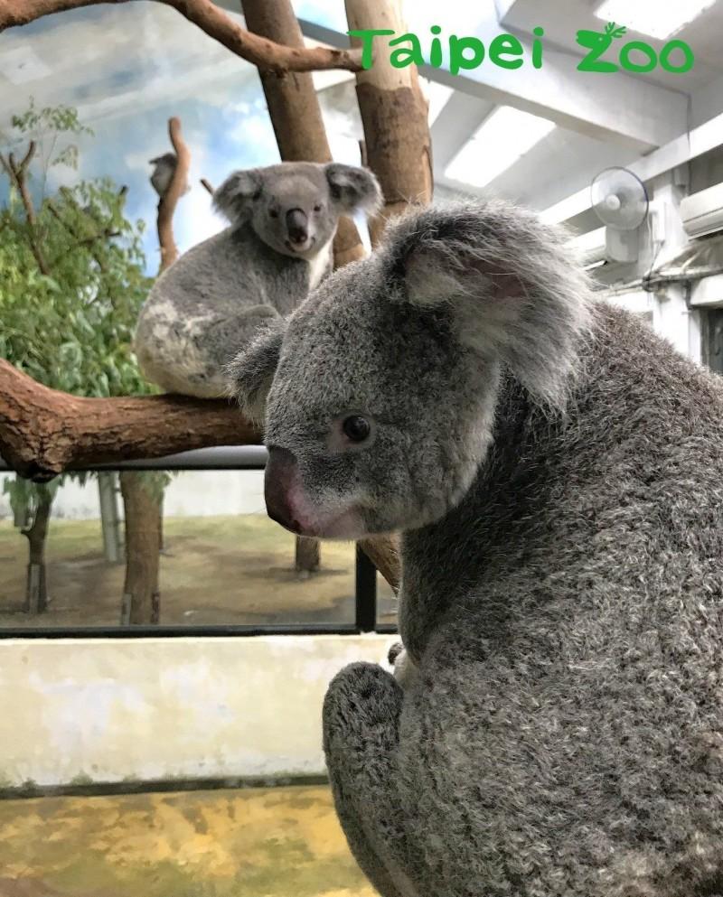 無尾熊館內的大姐姐「芙蓉」,一直都對其他公熊興趣缺缺(左為Emily、右為芙蓉)。(台北市立動物園提供)