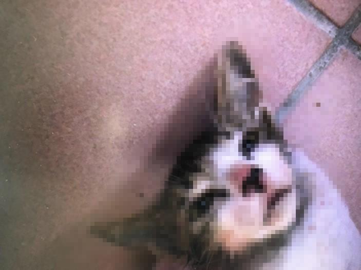 遭虐打的貓咪躺在地上奄奄一息。(黃富提供)