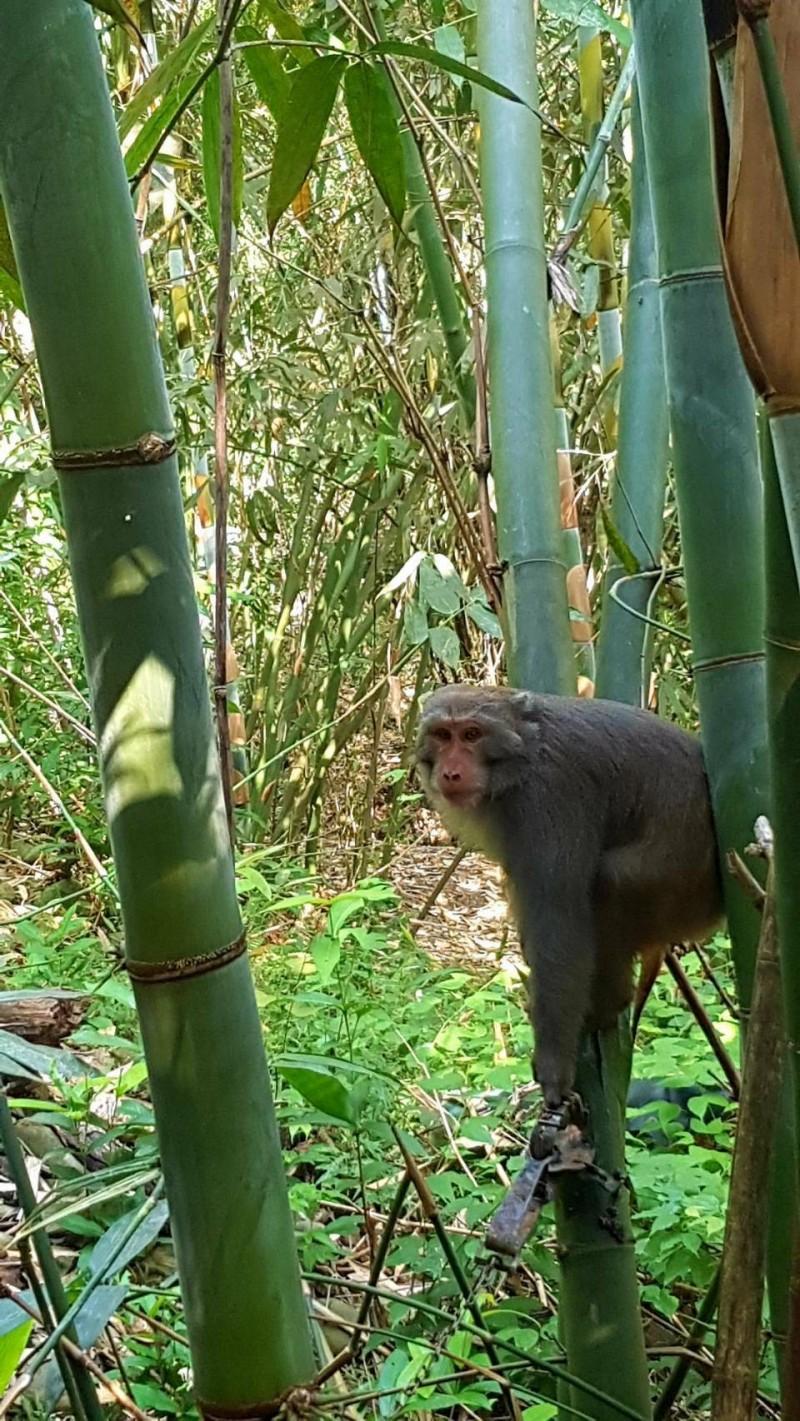 高市驚傳台灣獼猴遭捕獸鋏夾傷致死。(民眾郭高義提供)