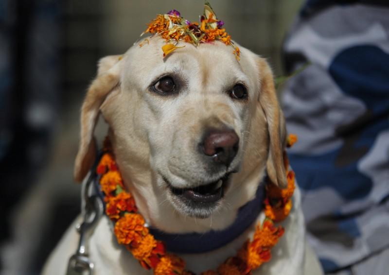 尼泊爾年度重要慶典「排燈節」,其中一日的主題是讚揚人犬之間的友誼關係。(美聯社)