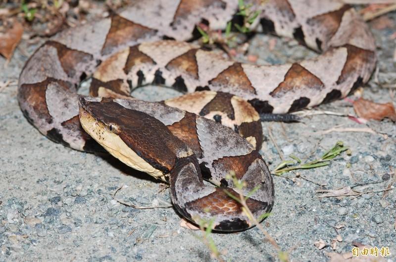 百步蛇示意圖。(資料照)