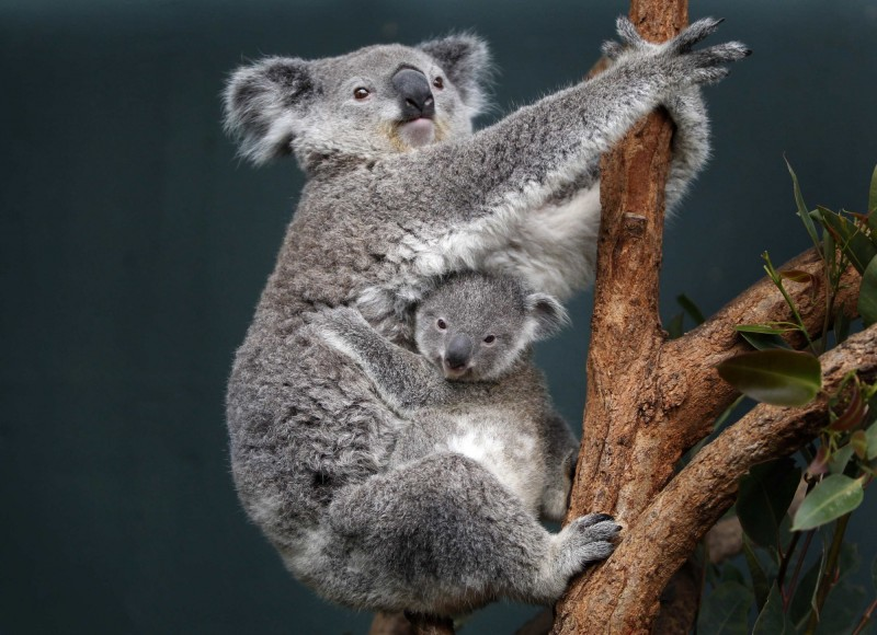 澳洲新南威爾斯州遭野火肆虐,當地無尾熊重要棲地遭吞噬。示意圖。(路透社)