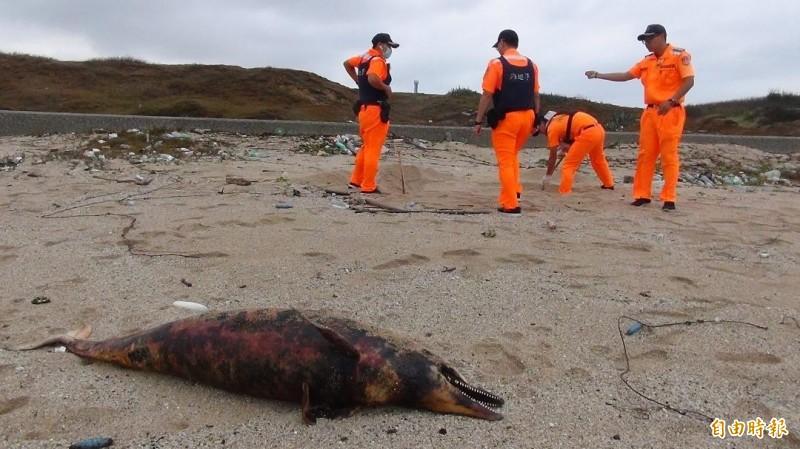 西嶼合界沙灘一連發現兩頭海豚陳屍,相隔約百餘公尺。(記者劉禹慶攝)