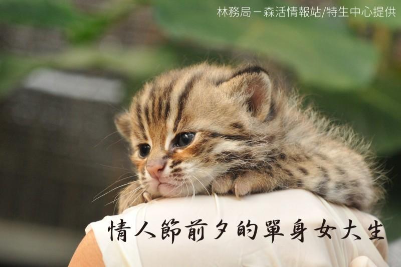 臉書粉專「林務局-森活情報站」也搭上「地味萬聖節」熱潮,推出以台灣野生動物為主角,模仿各種人類職場、日常生活現象的「森系cos」。圖為石虎。(圖擷取自臉書_林務局-森活情報站)