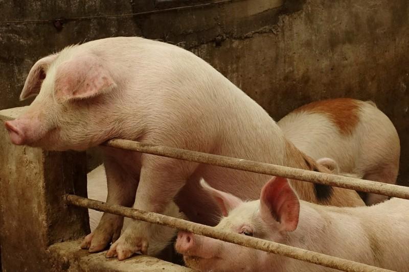 專家表示,中國的非洲豬瘟可能會透過野豬跨境傳染到俄羅斯。中國豬隻示意圖。(路透)
