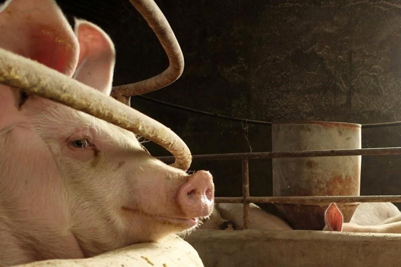 非洲豬瘟疫情全球蔓延。(路透)