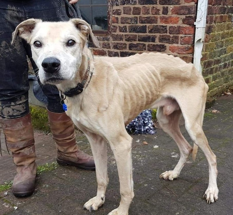 英國一隻餓成皮包骨的「骷髏狗」在萬聖夜被主人載到「動物救援收容所」門口拋棄,工作人員不但將牠妥善安置、細心照顧,還將牠命名為卡斯珀(Casper)。(圖擷取自推特)